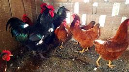 Ovo Galado de Galo Gigante Negro com galinhas Embrapa 51 - Ovos Galados