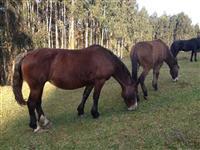 Lote Égua mansa mestiça frísia com mula ao pé e prenha de jumento pêga