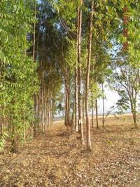 Sitio de 50 hec no municipio de Luziânia / COOPA-DF com eucalipto
