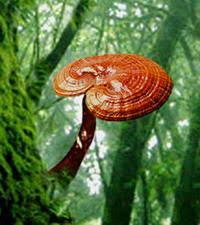 Cogumelo rei / Ganoderma Lucidum - extrato