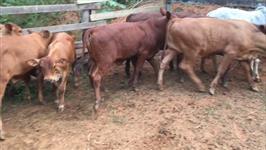 Bezerros, bezerras, novilhas, vacas e touro