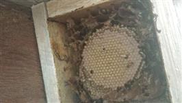 Enxame de de abelha jatai em caixa rústica