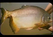 venda de peixe