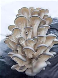 Composto para produção de cogumelos shimeji branco, cinza, salmão e amarelo