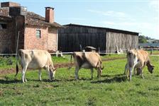 Vacas Jersey puras de origem em Lactação