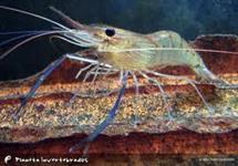 Camarão, pós larvas e juvenis de camarão da Malásia