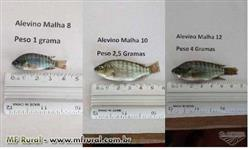 Alevinos (Tilápia, Pintado, Pirarucu, Tambaqui, Pangasius, Matrinxã, Piau, Tucunaré, traira)