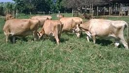 vacas e novihhas jersey
