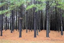Chacara de Pinus Rio Azul