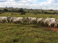 Vendo 35 bois magros, Nelore, na região de presidente prudente
