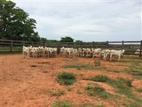 Vendo lote de vacas para engorda e bezerros de sobreano