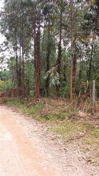 sitio  com 20 mil pes de eucaliptos