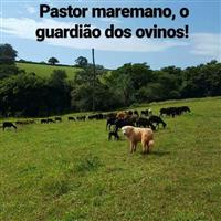 Filhotes de Pastor Maremano