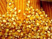 VENDEMOS MILHO GMO