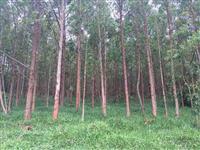 Vendo Mato de eucalipto primeira corta