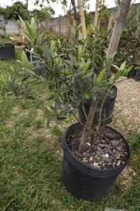 vendo mudas de oliveira