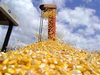 Milho Saco 60 kg Carga Fechada para todo o Brasil