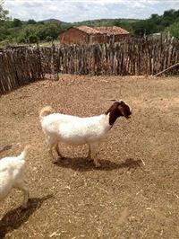 Vendo cabras e cabritas boer