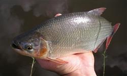 Vendemos e Entregamos peixes alevinos, juvenis, adultos e troféu