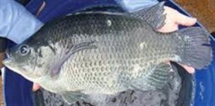 Tilapias para pesqueiro , atacado e varejo