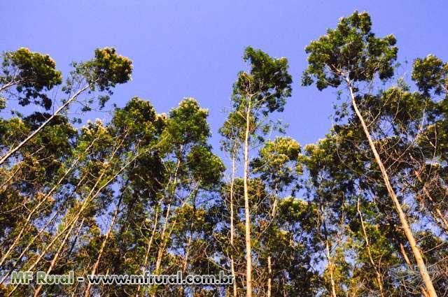 Reflorestamento de Acácia Negra