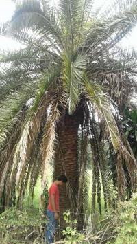 vende-se duas palmeiras fenix canaliense
