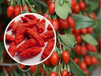 Goji Berry Desidatrado (PREMIUM)