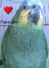 Vendo um papagaio aestiva