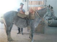 Cavalo criolo