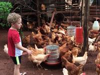 80 galinhas poedeiras