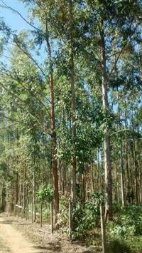 Árvores de Eucalipto