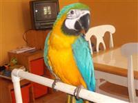 papagaios saudáveis e outras aves para vender