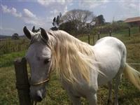 Cavalo Mangalarga Marcha Picado
