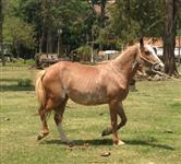 Cavalo e Égua Paulista