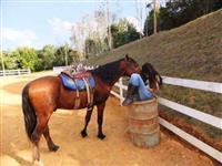 Cavalo Mestiço Campolina, Manso, Castrado, 12 anos