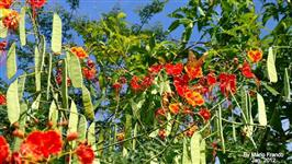 mudas e sementes de franboyart mirim