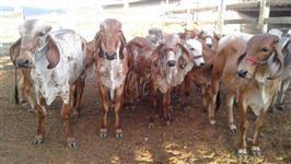 Gir leiteiro na Paraíba