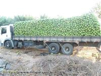 Côco verde em Penha SC, frete incluso no valor!!!!