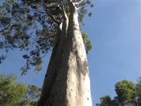 Eucaliptos Citriodoro