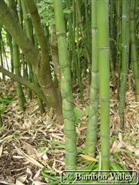 Compro mato de bambu cana-da-índia(phyllostachys aurea) - Grande Porto Alegre e arredores