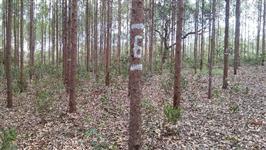 Venda de eucaliptos em MATO GROSSO
