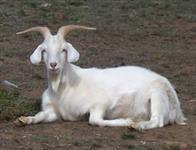 Leite de cabra
