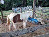 Cavalo pampa - Quarto de milha