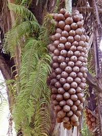 Vendo coco babaçu