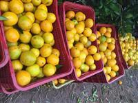 venda de laranjas