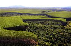 Compro Mato em Pé de Eucalyptus para tora preferencialmente Citriodora.