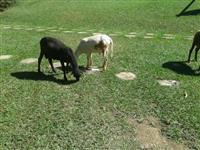 Vendemos carneiro em Belo Horizonte e região!!