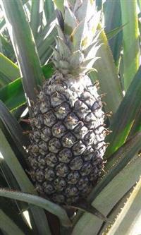 Abacaxi Pérola Muito Doce