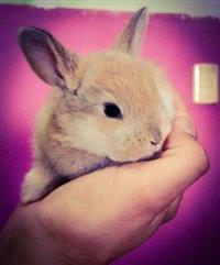 Coelhos e mini coelhos de diversas raças, filhotes e adultos