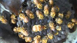 Enxame de uruçú amarela (melipona rufiventris mondury, bugia)